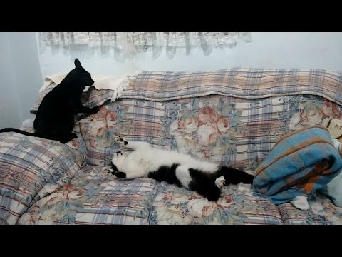 Two cats fighting in the sofa - part 2