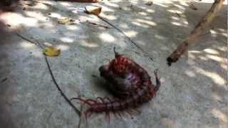Giant Centipede vs Frog