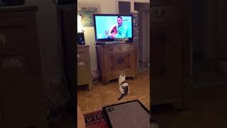 #кошка Американка прислала приветик из дома ) она живет в Германии.