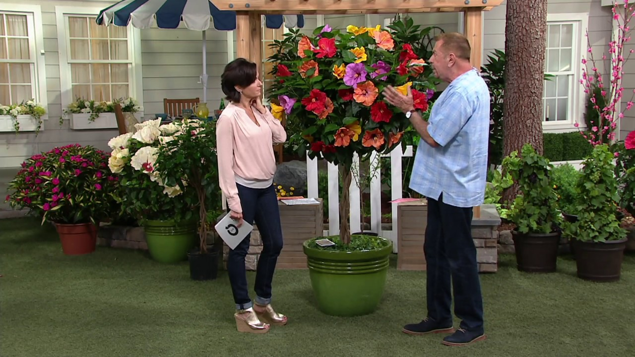 Cottage Farms Tropical Breeze 4 N 1 Braided Hibiscus Tree On Qvc