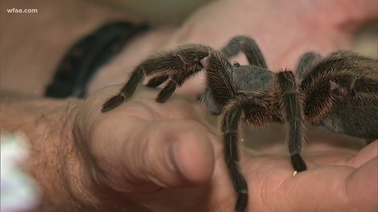 Tarantula Sightings In North Texas Youtube