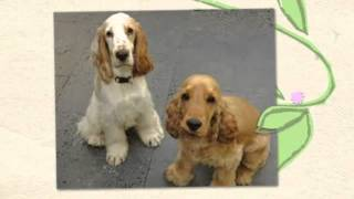 How To Train English Cocker Spaniel