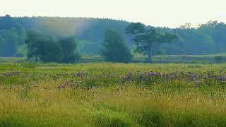 Footage (Raw) Pilkington Overlook purple flowers on a summer morning
