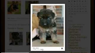 Best German Shepherd Breeder In The Usa
