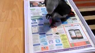 African Grey Parrot Potty Training  Casper @ 12 Weeks