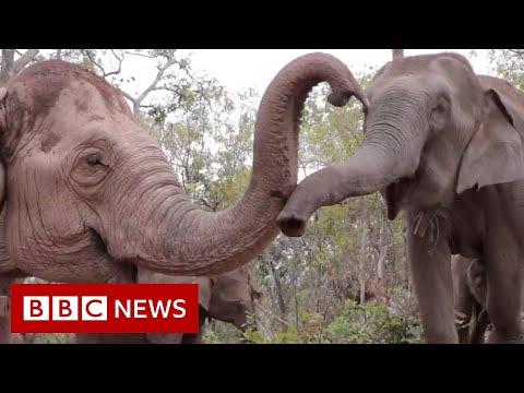 Elephants flee to survive coronavirus starvation - BBC News