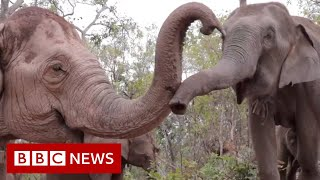Elephants flee to survive coronavirus starvation - BBC News