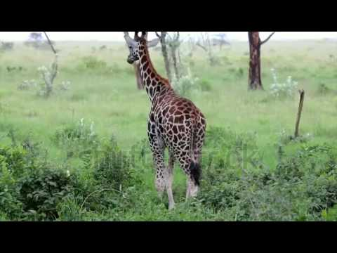 stock footage a wild baby extremely endangered rothschild giraffe giraffa camelopardalis rothschildi