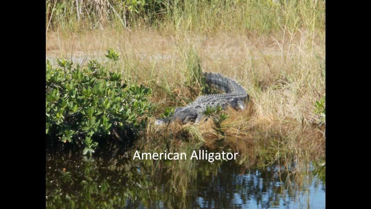 alligators the american alligators and the Facts and information about american alligators home animals of the world animal photos the animal kingdom animal activities about us shop contact us: american alligatoralligator mississippiensis.