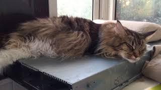 Котята шевелятся в животе Кошки