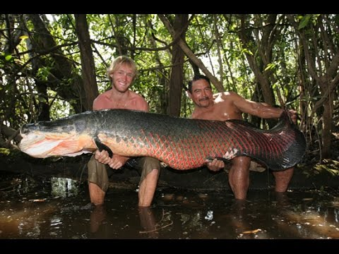Giant Arapaima In Amazon River Canda - FISH MONSTER HUNTING