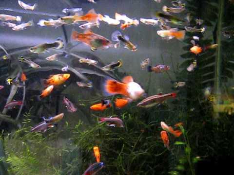 Fish Tank Wallpaper Hd Young Male Guppies Youtube