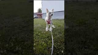 Chinese crested dog. Chiński grzywacz. Chinesischer Schopfhund. Kin...