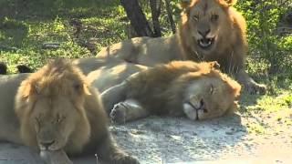 Lwy po śniadaniu - dziki świat Afryki ,, Safari