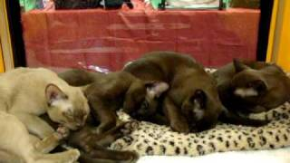 CROC&CATS - котята бурмы