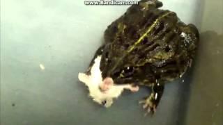 Жаба мышь сьела