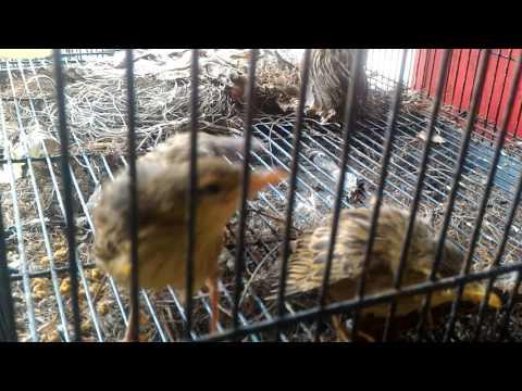 Bali birds market (pasar burung satria denpasar)
