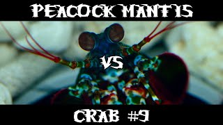Peacock Mantis VS Crab #9