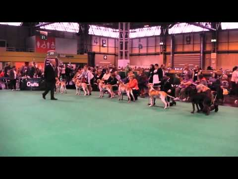 Crufts 2015 Bracco Italiano Dog Challenge
