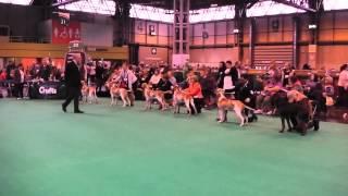 Crufts 2015 Bracco Italiano Dog Challenge