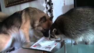 Енот с собакой и я друзья