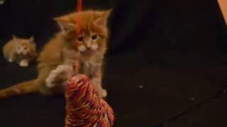 Рыжие котята мейн кун питомника Абракадабрус