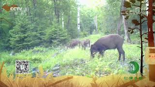 《秘境之眼》 野猪 20201215  CCTV - YouTube