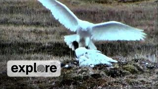 EXPLORE VIDEO | Hunters of the North: Snowy Owls thumbnail