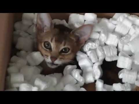 Abyssinian cats playing in box of foam
