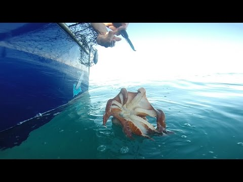 Catching Big Cuttlefish