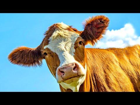 Мычание коровы / корова мычит / коровы видео