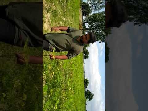 Organic moringa plants after 75 days