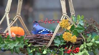Blue Jay At Homemade Garden Wreath Platform Feeder
