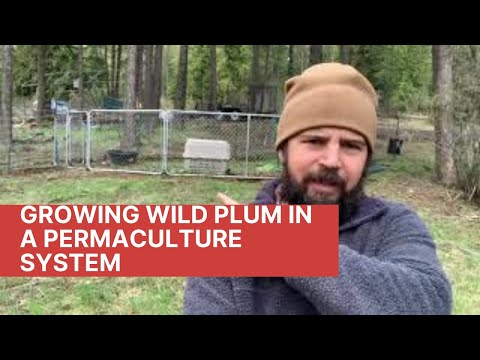 Growing Wild Plum in a Permaculture System