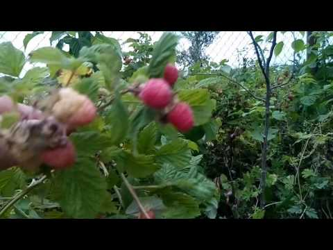 Вопрос: Чем малиновые деревья отличаются от простой малины?