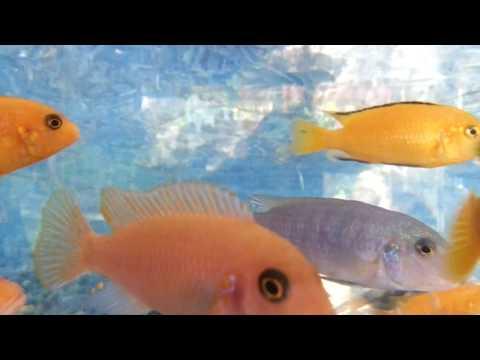 Akvaryum balıkları jiklet canlı görüntüler,Balıklar ve müzik,Aquarium fish live