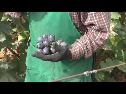 Посланник - отличный сорт винограда от Калугина с гигантской ягодой!