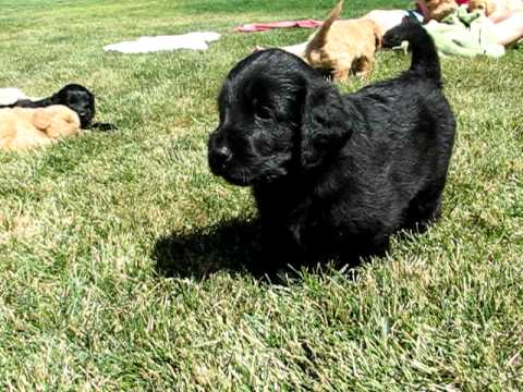 Beautiful Black Labradoodle Puppy