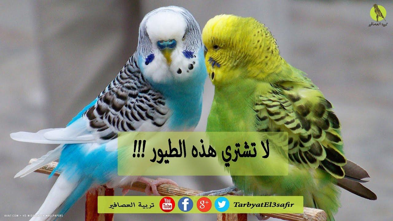 إحذر لا تشتري طيور الپيريش البادجي بهذه المواصفات Youtube