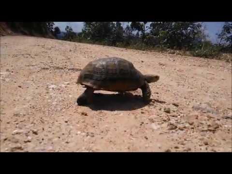 Elongated Tortoise, Pek Tortoise  เต่าป่า หายาก เต่าบกเต่าเหลือง , เต่าเทียน หรือเต่าขี้ผึ่ง