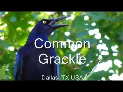 Common Grackle / Great Tailed Grackle Bird Sounds