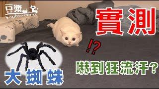 【豆漿實測】大蜘蛛登場!! 被嚇到汗流浹背 非常狼狽