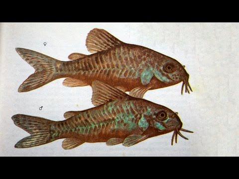 Сом крапчатый (Corydoras Paleatus) - Аквариумные тропические рыбы № 13