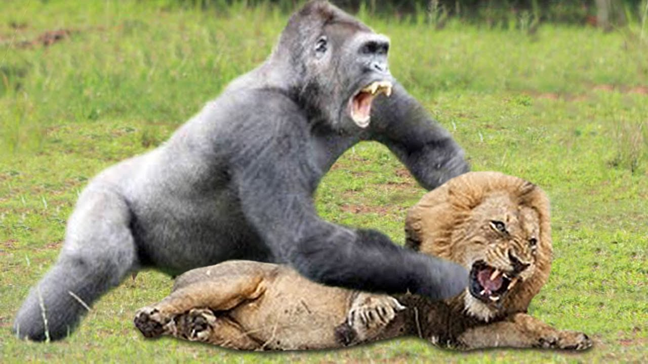 OMG!!! Gorilla Herd Failed To Save Baby Gorilla From Lion Revenge After Lion Cubs Catch By Gorilla