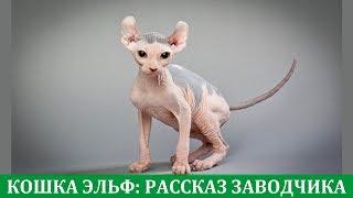 Кошка эльф: рассказ о породе из первых уст