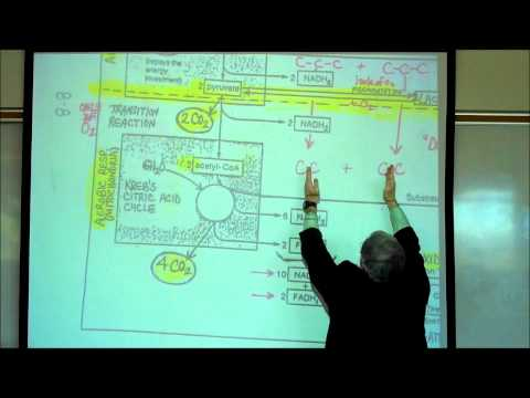 PHYSIOLOGY; CELLULAR RESPIRATION; PART 1 by Professor Fink