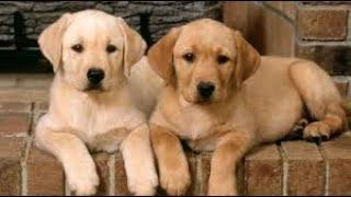 優しいラブラドールレトリバーに超癒される♡ 子犬もかわいすぎてもうた...