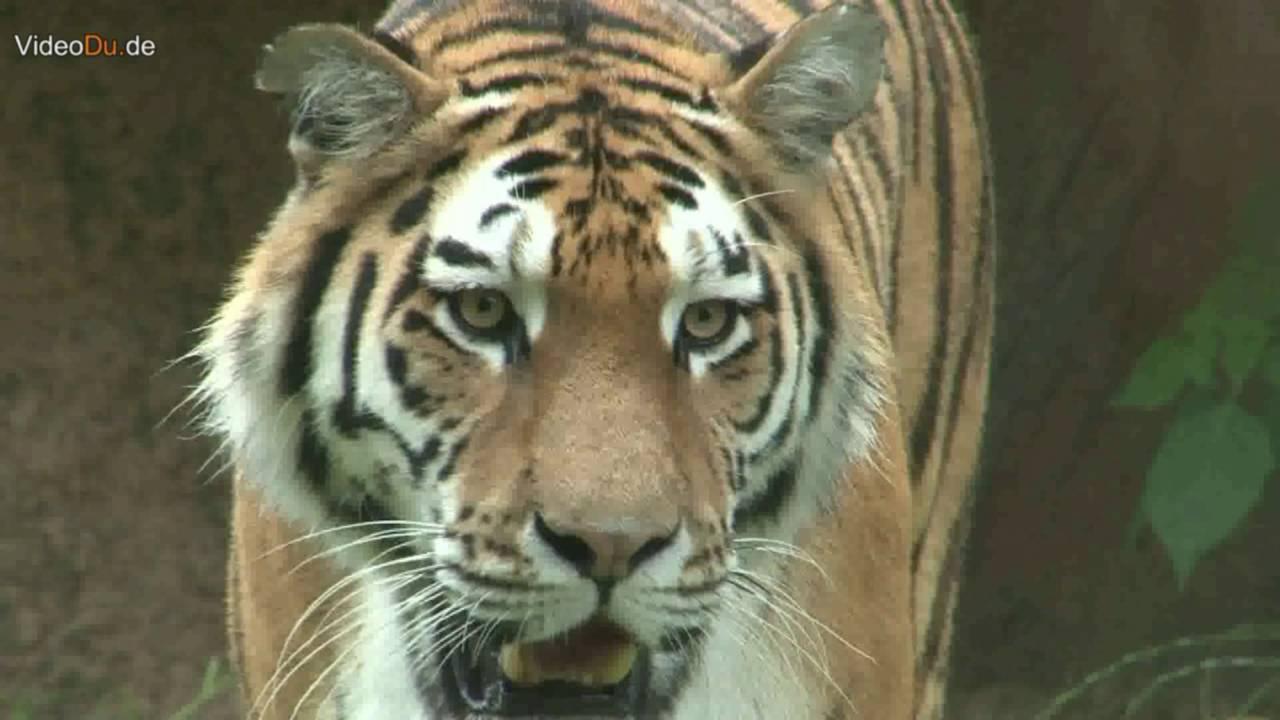 Auf zur Tiger-Safari in den Zoo Duisburg