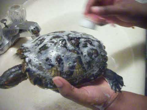 Cleaning your Pet Turtle Shell part 1