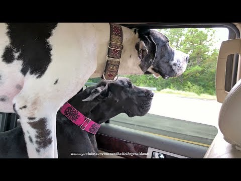 Funny Great Danes' Ears and Lips Blow In The Wind